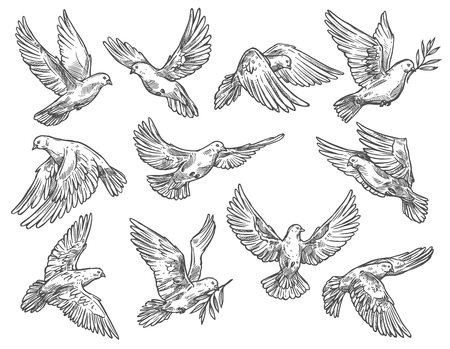 Ilustración de Dove and pigeon flying with olive branches. White vector sketch bird with broad wings, as symbol of peace and freedom, religious or wedding attribute in motion, monochrome isolated sketch - Imagen libre de derechos