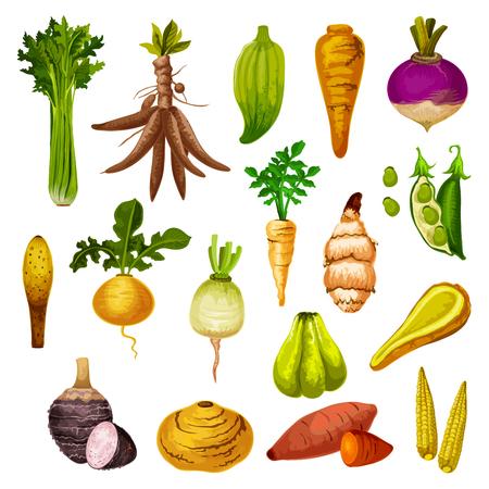 Ilustración de Root vegetables or veggie tuber icons. Vector sweet potato, radish or turnip and legume bread beans, natural jicama and cassava, manioc or celery and rutabaga, caigua and yam, little corn - Imagen libre de derechos