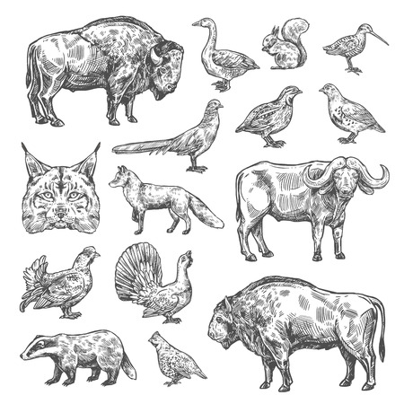 Illustration pour Hunting sport, birds and animals isolated sketches. Vector lynx and buffalo, hazel grouse and partridge, woodcock and blackcock. Quail and badger, duck, capercaillie, fox and squirrel, bison and bobcat - image libre de droit
