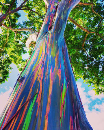 Photo for A rainbow eucalyptus tree (Eucalyptus deglupta) from O'ahu Hawaii AKA Mindanao gum trees and rainbow gum trees - Royalty Free Image