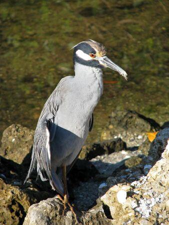 Yellow crowned Night Heron Ding Darling Wildlife Refuge Florida