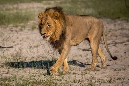 Photo pour Mighty Lion watching the lionesses who are ready for the hunt in Masai Mara, Kenya (Panthera leo) - image libre de droit