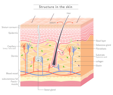 Foto per Structure in the skin English notation - Immagine Royalty Free