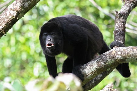An adult black Howler monkey on a tree howling at Costa Rica