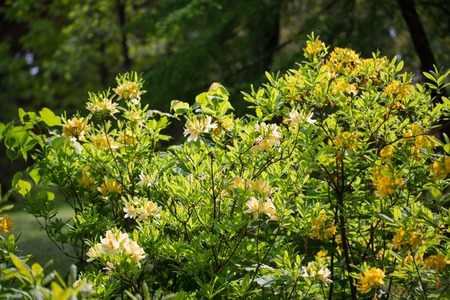 Photo pour Yellow blooming rhododendron in the territory of the Botanical Garden, Chernivtsi, Ukraine.Art photo with a bush of yellow rhododendron. - image libre de droit