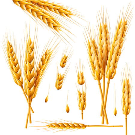 Illustration pour Realistic bunch of wheat, oats or barley isolated on white background. Vector set of wheat ears. Grains of cereals. Harvest, agriculture or bakery theme. Natural ingredient element. 3d illustration. - image libre de droit