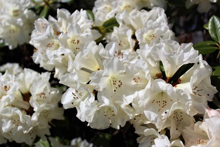 Photo pour White rhododendron flowers bloom in the spring sunshine - image libre de droit