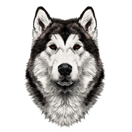 Illustration for Dog breed Alaskan Malamute head symmetry looks right sketch vector graphics color picture - Royalty Free Image