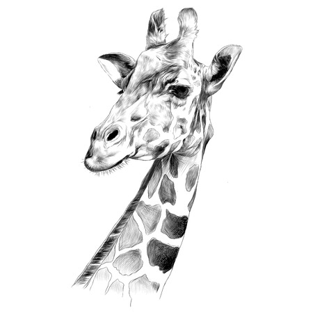 Ilustración de the head of a giraffe sketch vector graphics black and white drawing - Imagen libre de derechos