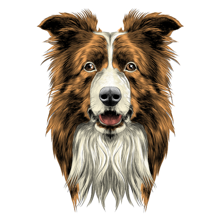 Illustration for dog head breed border collie sketch vector graphics colored drawing - Royalty Free Image