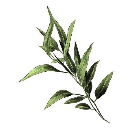 Illustration for Eucalyptus leaves sketch graphics illustration. - Royalty Free Image