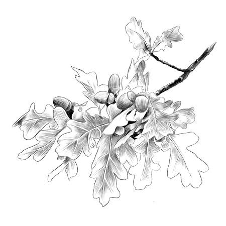 Illustration pour Oak branch sketch graphic illustration. - image libre de droit