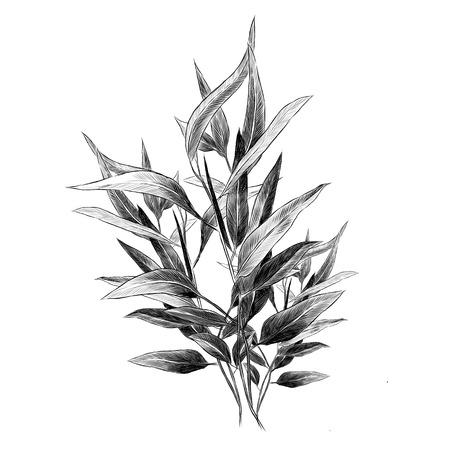 Illustration for Eucalyptus leaves sketch graphic illustration. - Royalty Free Image