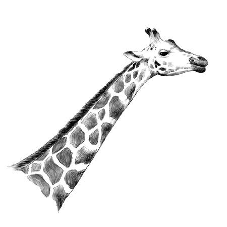 Illustrazione per Giraffe head sketch graphic design. - Immagini Royalty Free