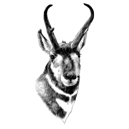 Illustration pour Pronghorn head sketch graphic design. - image libre de droit