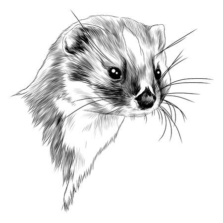 Illustrazione per Weasel head sketch graphic design. - Immagini Royalty Free