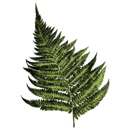 Illustration pour curl fern sprout spiral sketch vector graphics color picture - image libre de droit
