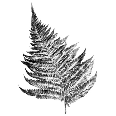 Illustration pour Curl fern sprout spiral, sketch. Vector graphics monochrome, black-and-white drawing. - image libre de droit