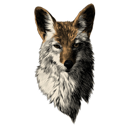 Illustration pour Coyote sketch, head vector graphics. Color picture illustration. - image libre de droit