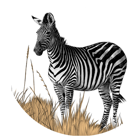 Illustration pour Zebra standing in the dry grass sketch vector graphics color picture - image libre de droit