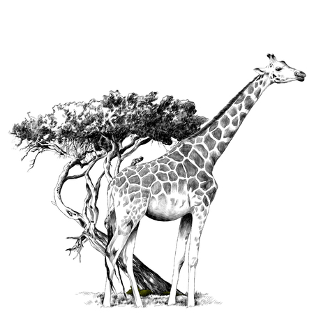 Illustration for A giraffe standing near a tree sketch graphics, black and white drawing - Royalty Free Image