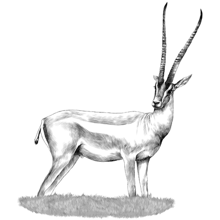 Ilustración de A Gazelle stands in the grass sketch vector graphics monochrome drawing - Imagen libre de derechos