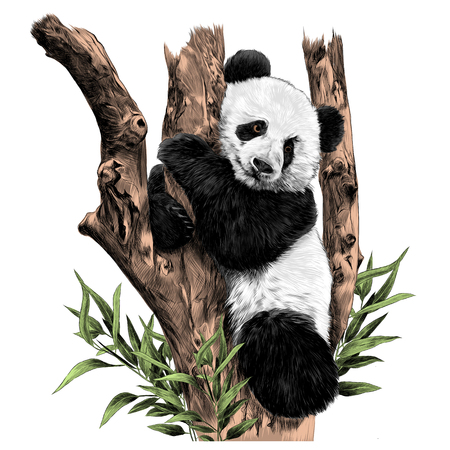 Illustration pour Panda rests on a branch hugging the sheets of sketch vector graphics color picture - image libre de droit