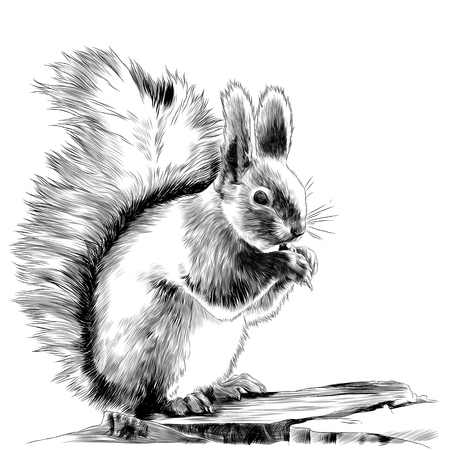 Illustration pour Squirrel sitting on a rock and gnawing a nut sketch graphics, black and white drawing - image libre de droit