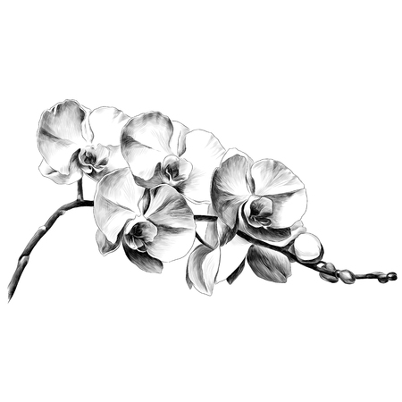Illustration for Orchid flower. Sketch vector. - Royalty Free Image