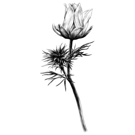 Ilustración de Adonis flower branch sprout petals a bright Sunny sketch vector graphics monochrome black-and-white drawing - Imagen libre de derechos