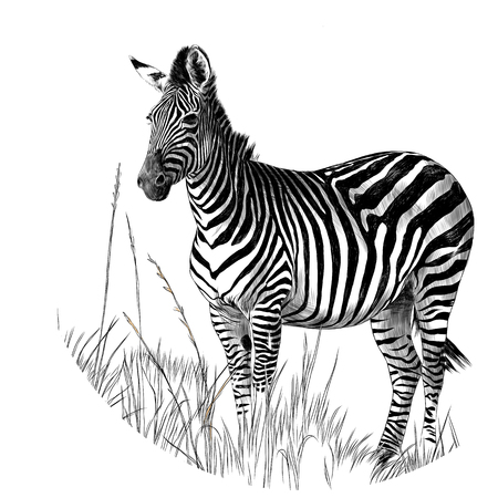 Illustration pour Zebra standing in the dry grass sketch vector graphics monochrome drawing - image libre de droit