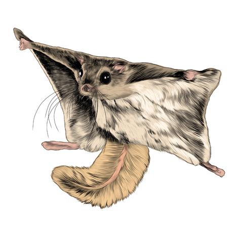 Illustration pour The flying squirrel sketch vector graphics color picture - image libre de droit