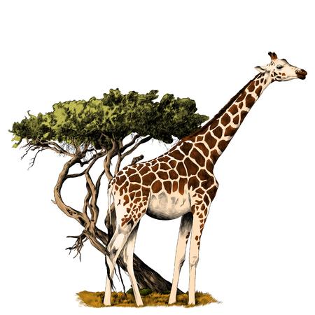 Illustration pour A giraffe standing near a tree sketch vector graphics color picture - image libre de droit