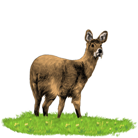 Illustration pour Musk deer with fangs. Sketch vector. - image libre de droit