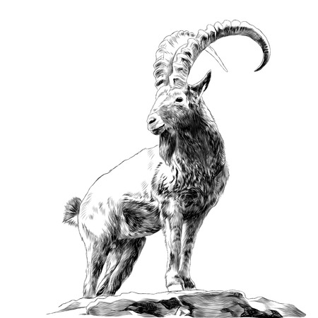 Illustration pour Mountain goat standing on rocks and looking in a direction sketch graphics of black and white drawing - image libre de droit