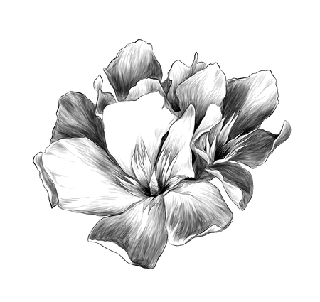 Illustration for a bouquet of three flower buds called oleander, sketch vector graphics monochrome illustration - Royalty Free Image