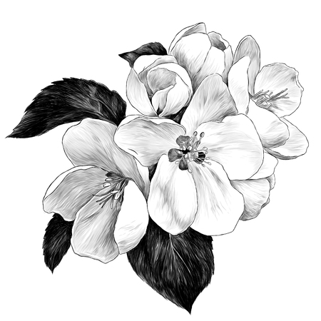Ilustración de Apple flowers with leaves on a branch, sketch vector graphics monochrome illustration on white background - Imagen libre de derechos