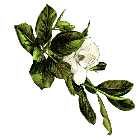 Illustration for Magnolia branch with flower and leaves, sketch vector graphic color illustration on white background - Royalty Free Image
