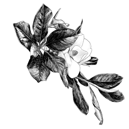 Illustration pour Magnolia branch with flower and leaves, sketch vector graphics monochrome illustration on white background - image libre de droit