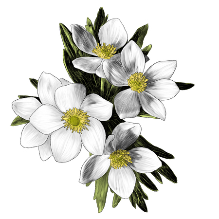 Illustration for flowers anemone with leaves bouquet branch, sketch vector graphic color illustration on white background - Royalty Free Image