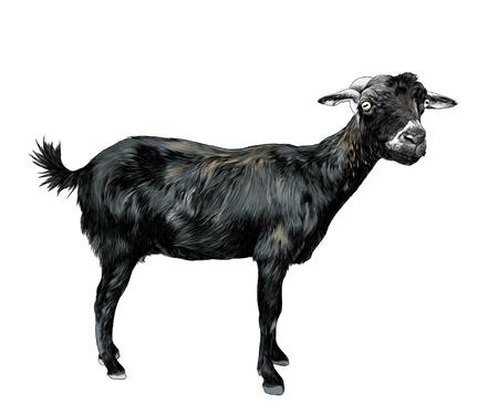Ilustración de skinny goat stands tall and looks into the camera, sketch vector graphic color illustration on white background - Imagen libre de derechos