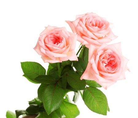 Photo for Pink roses isolated on white  - Royalty Free Image
