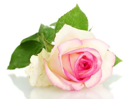 Photo for beautifu pink rose, isolated on white - Royalty Free Image