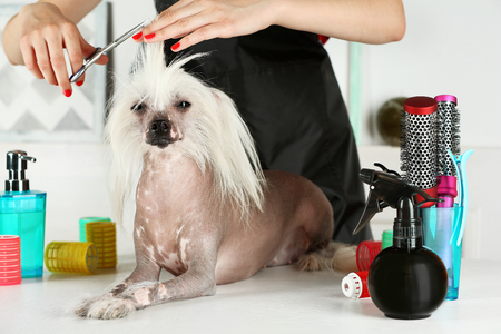 Photo pour Portrait of Chinese Crested dog at barbershop - image libre de droit