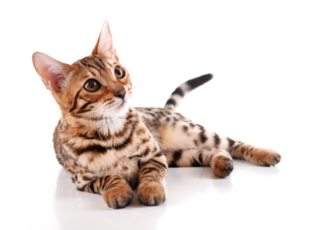Photo pour Beautiful Bengal kitten isolated on white - image libre de droit