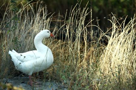 Foto de Goose on river bank - Imagen libre de derechos