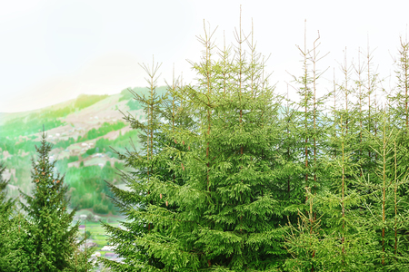 Photo for Fir tree forest - Royalty Free Image