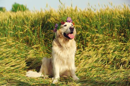 Foto de Cute retriever with wreath in field - Imagen libre de derechos