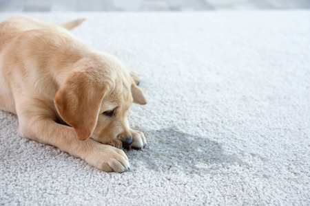 Photo pour Cute puppy lying on carpet near wet spot - image libre de droit