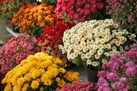 Photo pour Pots with beautiful chrysanthemum flowers - image libre de droit